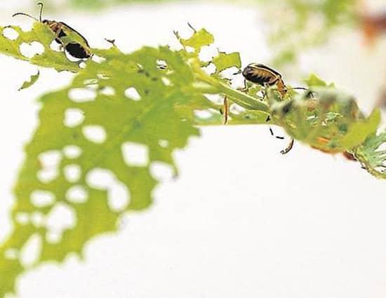 pareja de escarabajos comiendo vegetacion del jardin
