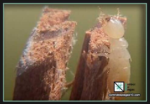 carcoma de la madera tratamientos caseros