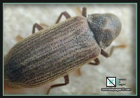 carcoma insectos madera