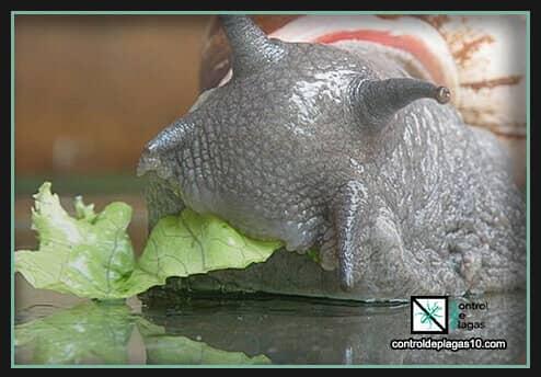cebos y trampas efectivas para babosas o caracoles
