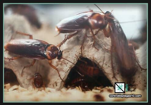 crias de cucarachas en casa aprende a ahuyentarlas