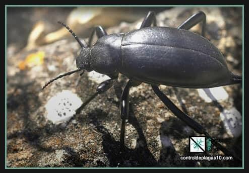escarabajos nombre cientifico