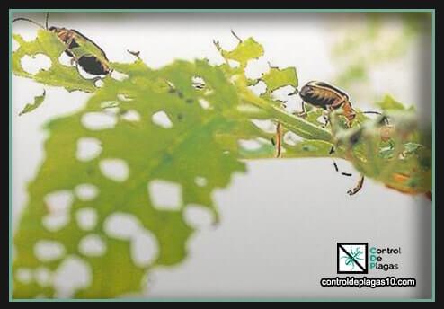 escarabajos pequeños en casa