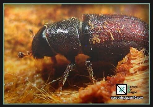 escarabajos reproduccion