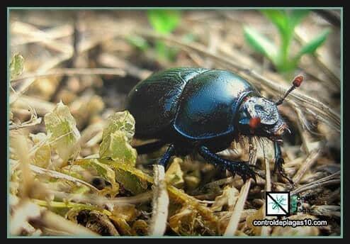 escarabajos son peligrosos