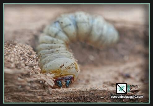 hay diferencias entre carcomas y termitas