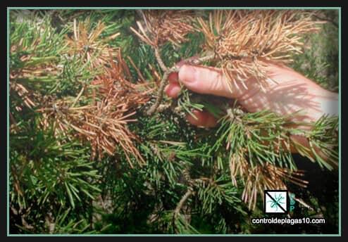 la procesionaria del pino y sus beneficios para el ecosistema