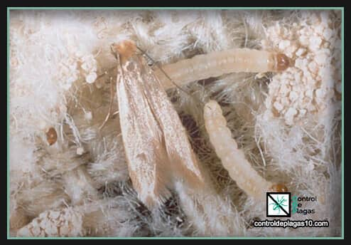 larvas de polillas