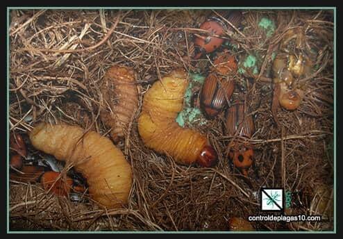 larvas y crias de picudos rojos