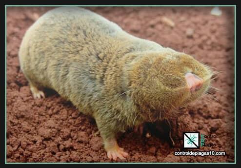 los peligros de tener una plaga de topos alrededor del hogar
