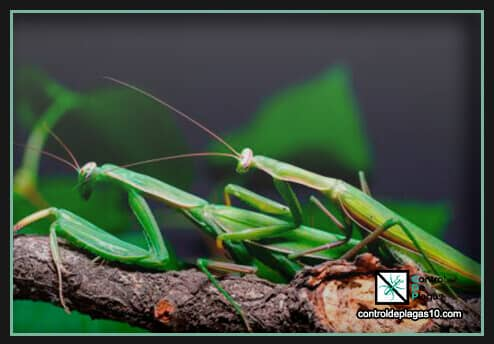 mantis religiosa mata a su pareja al terminar de reproducirse