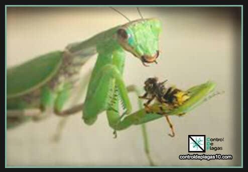 mantis religiosa que come y donde vive