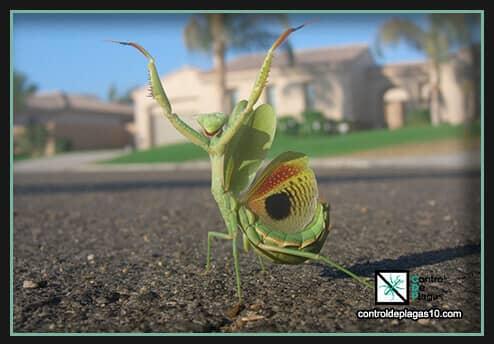 mantis religiosa respiracion