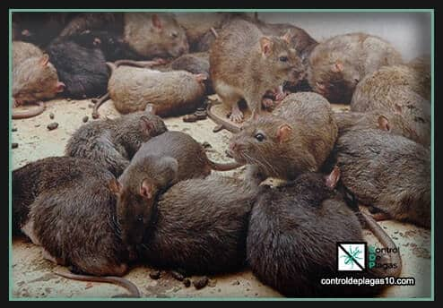 plaga de ratas caminan por las paredes y suelo de una casa