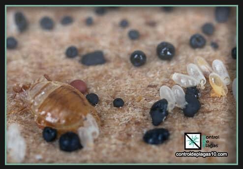 plaga invasora de chinches y sus larvas