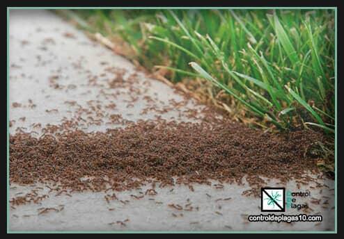 plagas grande de hormigas en el jardin