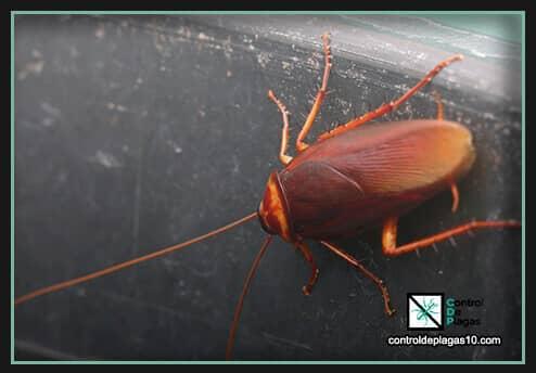 que enfermedades traen las cucarachas