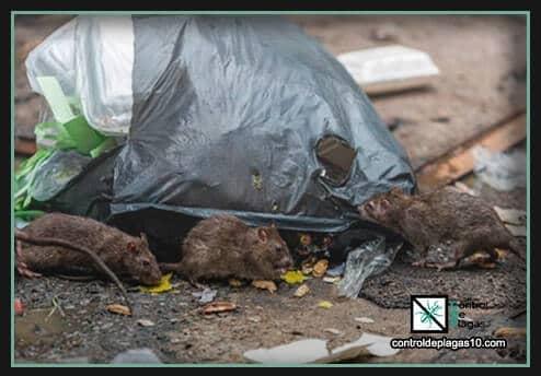 que enfermedades transmiten las ratas