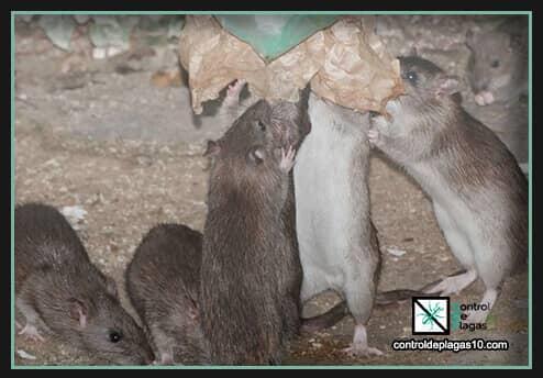 ratas alimentandose de basura