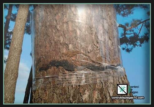 remedio contra procesionaria del pino