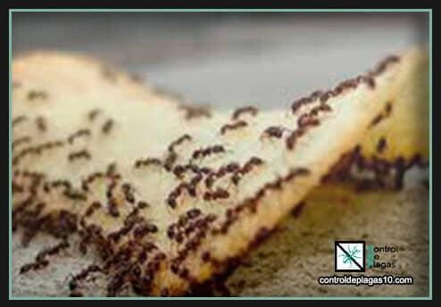 si tienes suciedad aparecen hormigas en casa